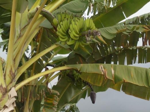 2017 7 3 Banana tree 1