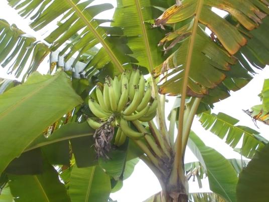 2017 7 3 banana tree 2